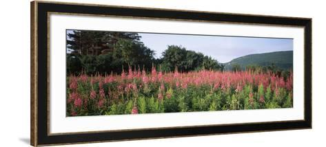 Purple Loosestrife (Lythrum Salicaria) Flowers in a Field, Forillon National Park, Quebec, Canada--Framed Art Print