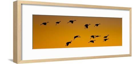 Silhouette of Sandhill Cranes (Grus Canadensis) Flying in the Sky at Sunrise--Framed Art Print