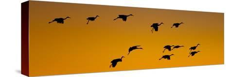 Silhouette of Sandhill Cranes (Grus Canadensis) Flying in the Sky at Sunrise--Stretched Canvas Print