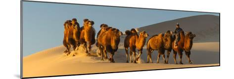 Camel Caravan in a Desert, Gobi Desert, Independent Mongolia--Mounted Photographic Print