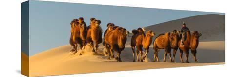 Camel Caravan in a Desert, Gobi Desert, Independent Mongolia--Stretched Canvas Print