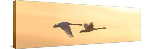 Trumpeter Swans in Flight at Sunset, Riverlands Migratory Bird Sanctuary, West Alton--Stretched Canvas Print