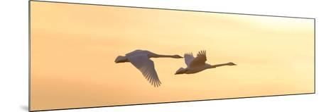 Trumpeter Swans in Flight at Sunset, Riverlands Migratory Bird Sanctuary, West Alton--Mounted Photographic Print