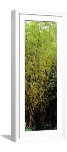 Bamboo Trees in a Forest, Akaka Falls State Park, Hawaii County, Hawaii, USA--Framed Art Print
