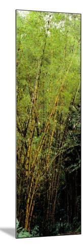 Bamboo Trees in a Forest, Akaka Falls State Park, Hawaii County, Hawaii, USA--Mounted Photographic Print