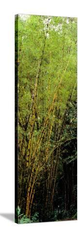 Bamboo Trees in a Forest, Akaka Falls State Park, Hawaii County, Hawaii, USA--Stretched Canvas Print