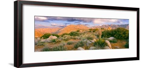 Yucca (Spanish Bayonet) Plants Blooming in a Desert, Culp Valley Primitive Campground--Framed Art Print