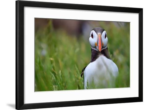 Atlantic Puffin, the Farne Islands, Northumberland, England, United Kingdom, Europe-Karen McDonald-Framed Art Print
