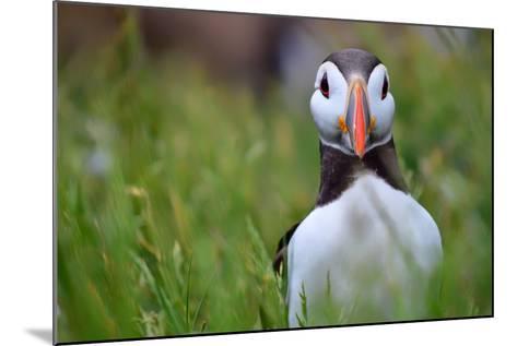 Atlantic Puffin, the Farne Islands, Northumberland, England, United Kingdom, Europe-Karen McDonald-Mounted Photographic Print
