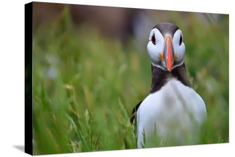 Atlantic Puffin, the Farne Islands, Northumberland, England, United Kingdom, Europe-Karen McDonald-Stretched Canvas Print