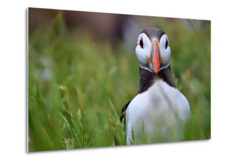 Atlantic Puffin, the Farne Islands, Northumberland, England, United Kingdom, Europe-Karen McDonald-Metal Print
