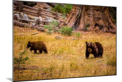 Mother Brown Bear and Her Cub, Sequoia National Park, California-Laura Grier-Mounted Photographic Print