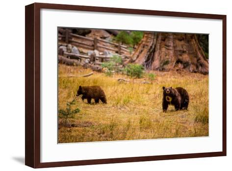 Mother Brown Bear and Her Cub, Sequoia National Park, California-Laura Grier-Framed Art Print