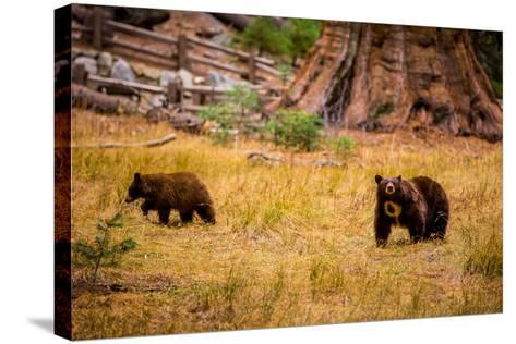 Mother Brown Bear and Her Cub, Sequoia National Park, California-Laura Grier-Stretched Canvas Print