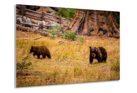 Mother Brown Bear and Her Cub, Sequoia National Park, California-Laura Grier-Metal Print