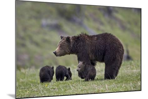 Grizzly Bear (Ursus Arctos Horribilis) Sow and Three Cubs of the Year, Yellowstone National Park-James Hager-Mounted Photographic Print
