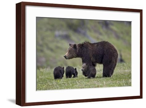 Grizzly Bear (Ursus Arctos Horribilis) Sow and Three Cubs of the Year, Yellowstone National Park-James Hager-Framed Art Print