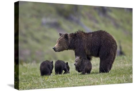 Grizzly Bear (Ursus Arctos Horribilis) Sow and Three Cubs of the Year, Yellowstone National Park-James Hager-Stretched Canvas Print