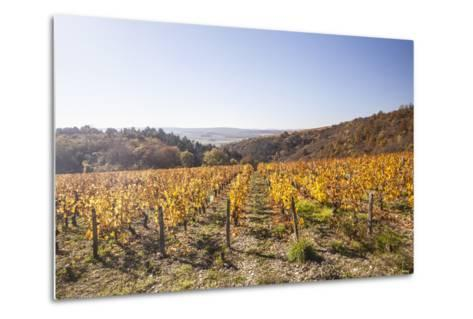 Autumn Colour in the Vineyards of Irancy, Yonne, Burgundy, France, Europe-Julian Elliott-Metal Print