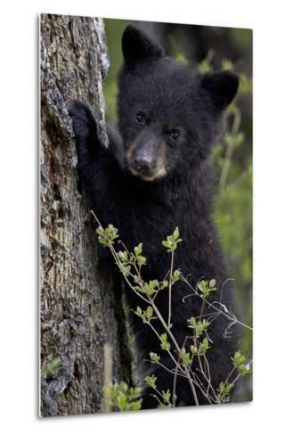 Black Bear (Ursus Americanus) Cub of the Year or Spring Cub, Yellowstone National Park, Wyoming-James Hager-Metal Print