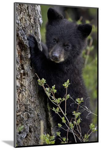 Black Bear (Ursus Americanus) Cub of the Year or Spring Cub, Yellowstone National Park, Wyoming-James Hager-Mounted Photographic Print