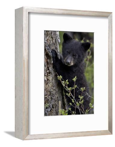 Black Bear (Ursus Americanus) Cub of the Year or Spring Cub, Yellowstone National Park, Wyoming-James Hager-Framed Art Print