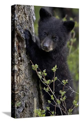 Black Bear (Ursus Americanus) Cub of the Year or Spring Cub, Yellowstone National Park, Wyoming-James Hager-Stretched Canvas Print