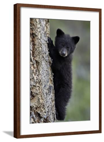 Black Bear (Ursus Americanus) Cub of the Year or Spring Cub Climbing a Tree-James Hager-Framed Art Print