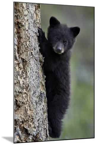 Black Bear (Ursus Americanus) Cub of the Year or Spring Cub Climbing a Tree-James Hager-Mounted Photographic Print