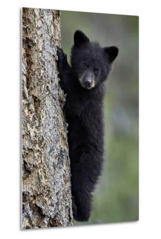 Black Bear (Ursus Americanus) Cub of the Year or Spring Cub Climbing a Tree-James Hager-Metal Print