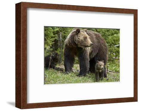 Grizzly Bear (Ursus Arctos Horribilis) Sow and Two Cubs of the Year, Yellowstone National Park-James Hager-Framed Art Print