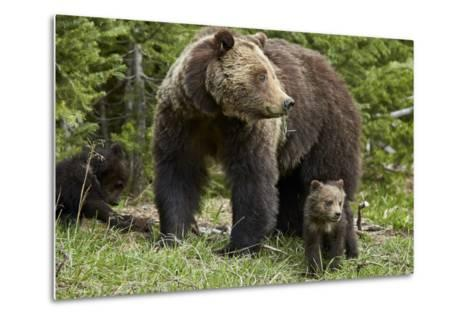 Grizzly Bear (Ursus Arctos Horribilis) Sow and Two Cubs of the Year, Yellowstone National Park-James Hager-Metal Print