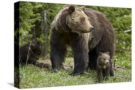Grizzly Bear (Ursus Arctos Horribilis) Sow and Two Cubs of the Year, Yellowstone National Park-James Hager-Stretched Canvas Print