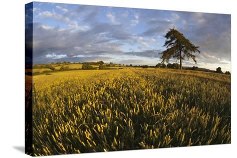 Wheat Field and Pine Tree at Sunset, Near Chipping Campden, Cotswolds, Gloucestershire, England-Stuart Black-Stretched Canvas Print