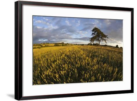Wheat Field and Pine Tree at Sunset, Near Chipping Campden, Cotswolds, Gloucestershire, England-Stuart Black-Framed Art Print
