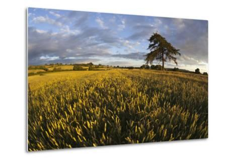 Wheat Field and Pine Tree at Sunset, Near Chipping Campden, Cotswolds, Gloucestershire, England-Stuart Black-Metal Print