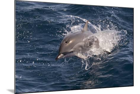 Clymene Dolphin (Stenella Clymene) Porpoising Towards the Photographer-Mick Baines-Mounted Photographic Print
