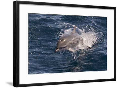 Clymene Dolphin (Stenella Clymene) Porpoising Towards the Photographer-Mick Baines-Framed Art Print