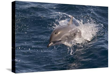 Clymene Dolphin (Stenella Clymene) Porpoising Towards the Photographer-Mick Baines-Stretched Canvas Print