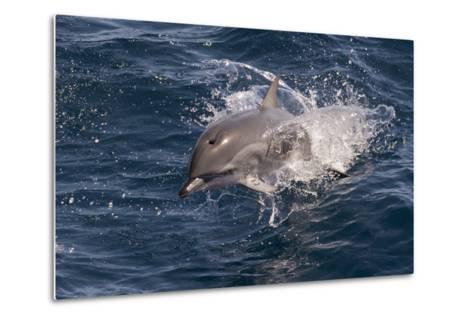 Clymene Dolphin (Stenella Clymene) Porpoising Towards the Photographer-Mick Baines-Metal Print