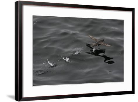 Northern Fulmar (Fulmarus Glacialis) Taking Off from a Calm Sea, Sakhalin Island, Russia, Eurasia-Mick Baines-Framed Art Print