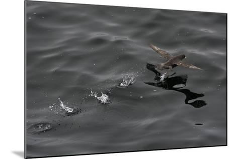 Northern Fulmar (Fulmarus Glacialis) Taking Off from a Calm Sea, Sakhalin Island, Russia, Eurasia-Mick Baines-Mounted Photographic Print