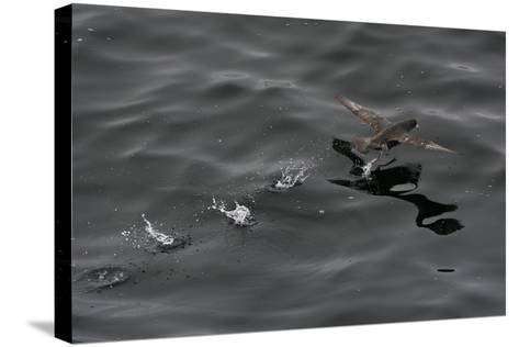 Northern Fulmar (Fulmarus Glacialis) Taking Off from a Calm Sea, Sakhalin Island, Russia, Eurasia-Mick Baines-Stretched Canvas Print