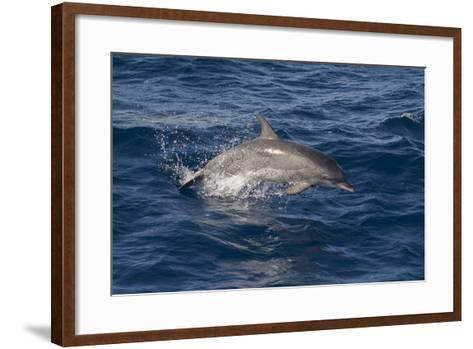 Atlantic Spotted Dolphin (Stenella Frontalis) Breaking from the Sea in a Low Leap, Senegal-Mick Baines-Framed Art Print