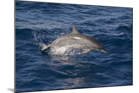 Atlantic Spotted Dolphin (Stenella Frontalis) Breaking from the Sea in a Low Leap, Senegal-Mick Baines-Mounted Photographic Print