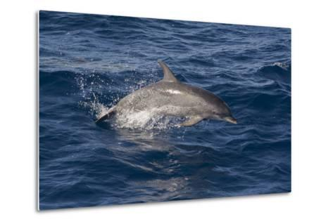 Atlantic Spotted Dolphin (Stenella Frontalis) Breaking from the Sea in a Low Leap, Senegal-Mick Baines-Metal Print