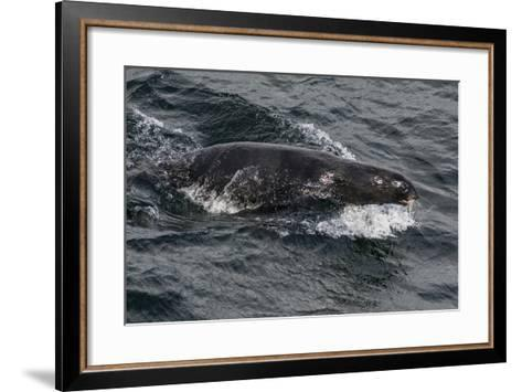 Porpoising Northern Fur Seal (Callorhinus Ursinus), Sakhalin Island, Russia, Eurasia-Mick Baines-Framed Art Print