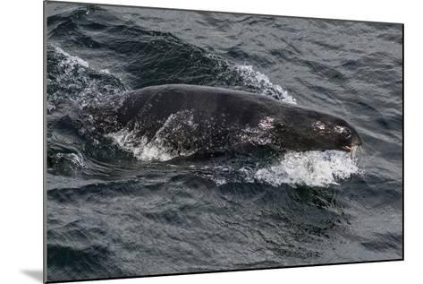 Porpoising Northern Fur Seal (Callorhinus Ursinus), Sakhalin Island, Russia, Eurasia-Mick Baines-Mounted Photographic Print