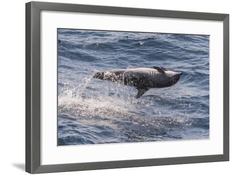 Clymene Dolphin (Stenella Clymene) Spinning, Caught Belly Uppermost, Senegal, West Africa, Africa-Mick Baines-Framed Art Print