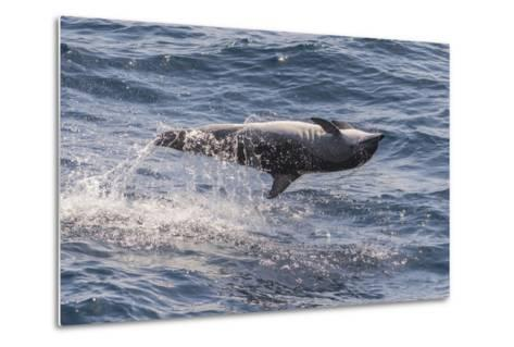 Clymene Dolphin (Stenella Clymene) Spinning, Caught Belly Uppermost, Senegal, West Africa, Africa-Mick Baines-Metal Print